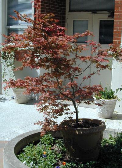 Japanese Maple (1)