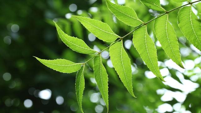 neem-leaves-640x360