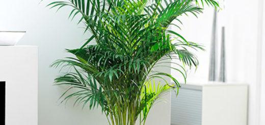 Areca-Palm